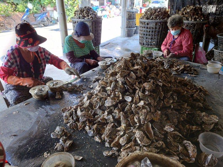 中秋過後東北季風轉強,要吃牡蠣最好中秋之前購買,個體較肥美。記者簡慧珍/拍攝