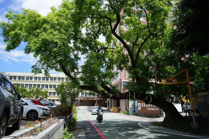 花蓮市公正街上的老樟樹,樹型相當有特色,但枝幹橫過馬路,汽機車經過時都會自動減速。記者王燕華/攝影