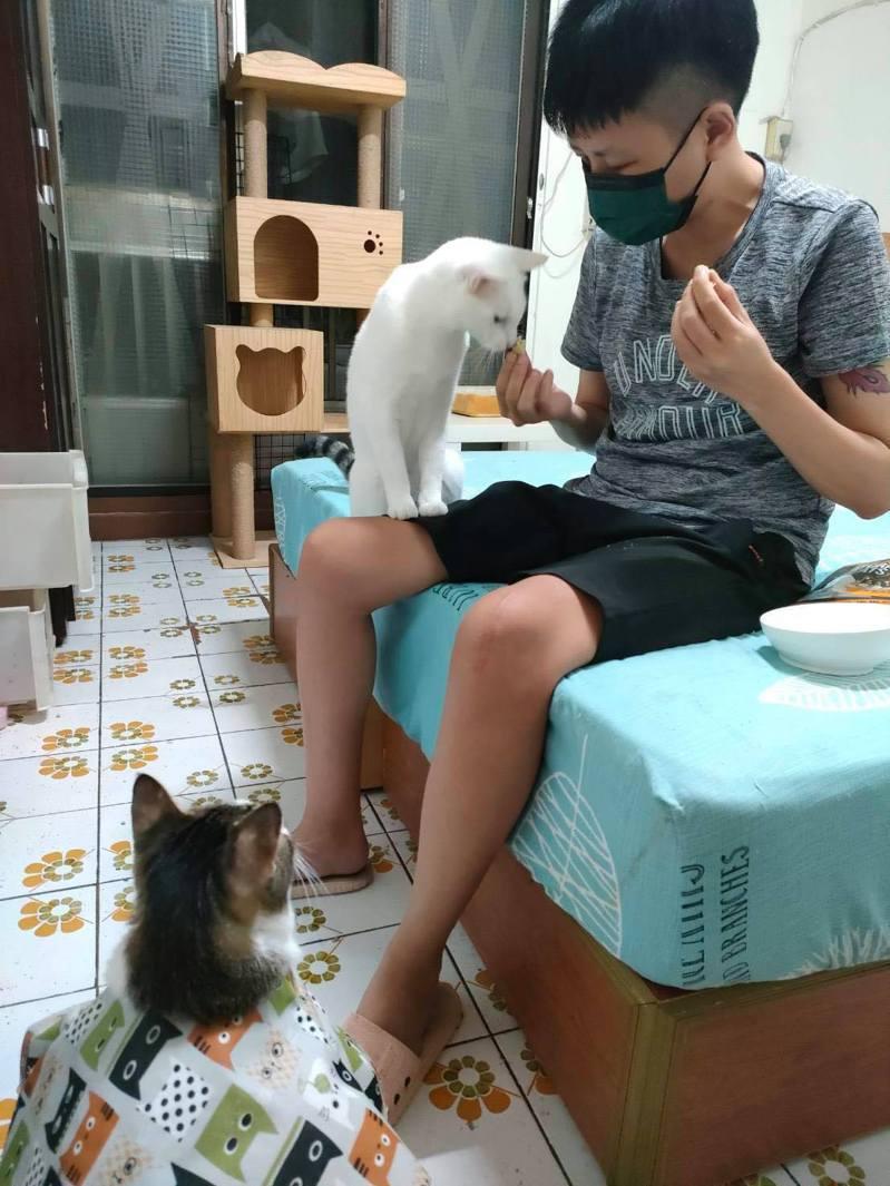 高雄謝佩紜家中照顧3隻貓,其中白貓島吉為腎貓、白底虎斑黑輪過胖。圖/謝佩紜提供
