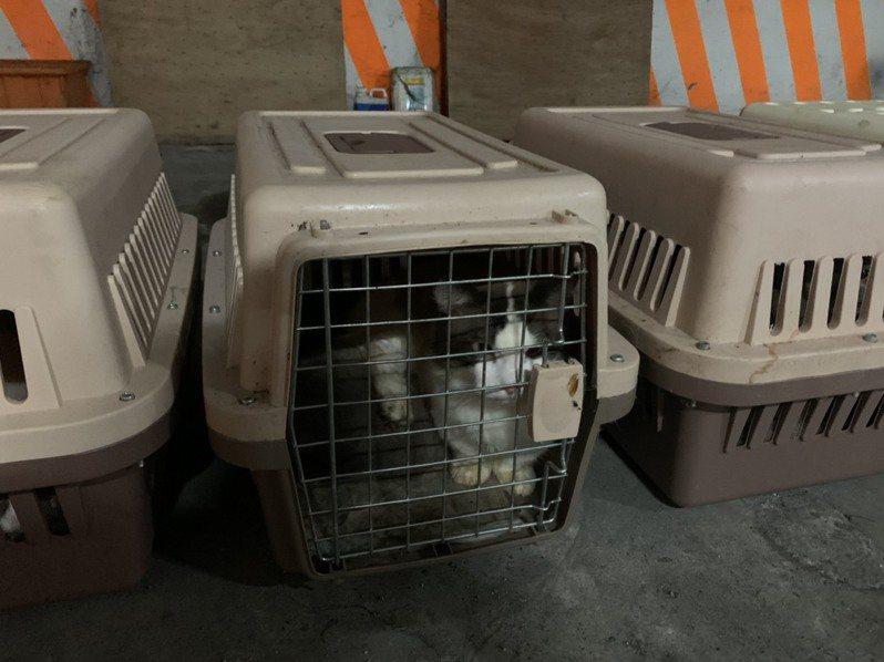 日前海巡署查獲154隻走私的品種貓後集體安樂死,再度掀起我國動物保護不足的檢討聲浪。記者林保光/翻攝