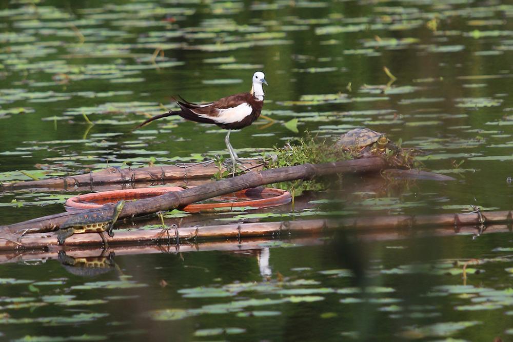 水雉現為洲仔濕地保護物種,在園區內觀察到的「雉尾水雉」,於每年春夏之際換羽,披上...