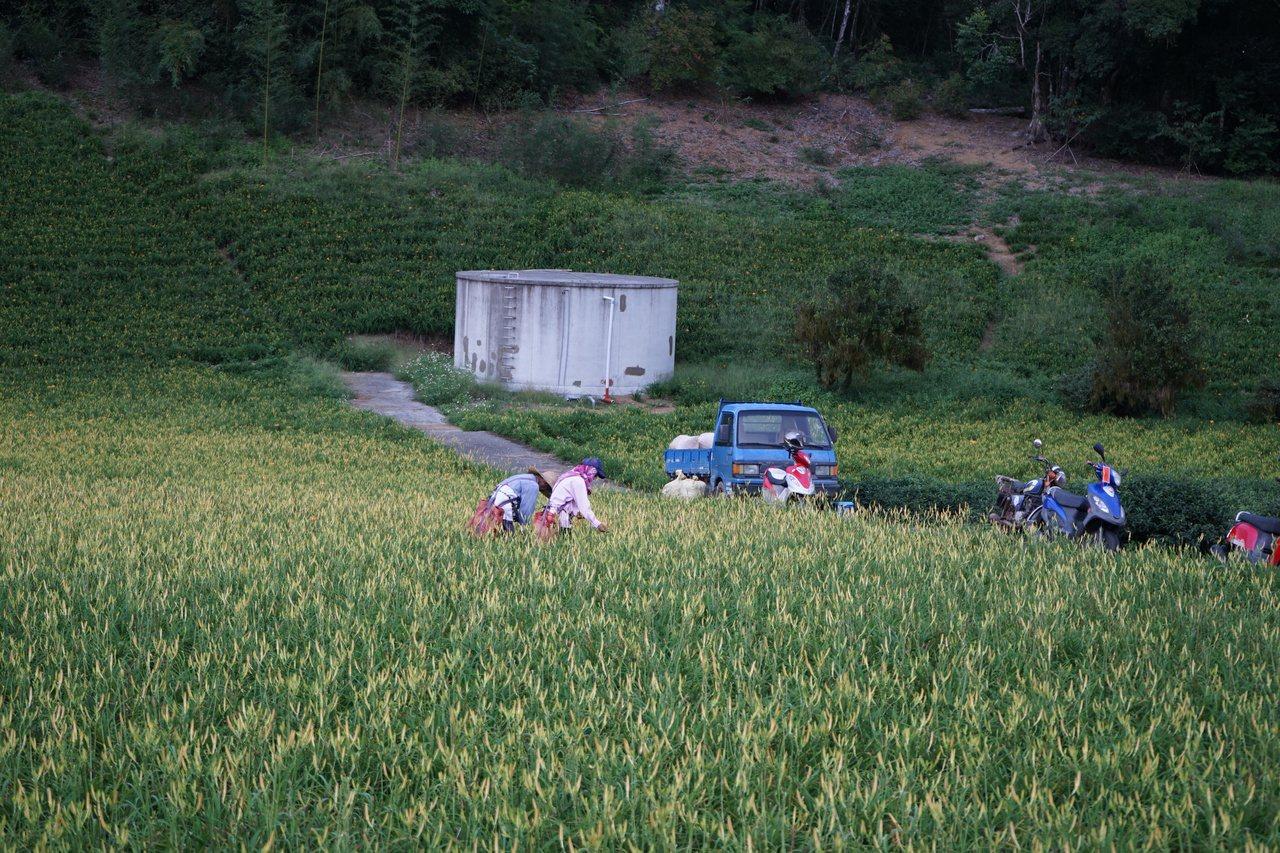 秋遊金針山,除了看花,也能看到農民忙著採收的農家風情。 圖/王燕華 攝影