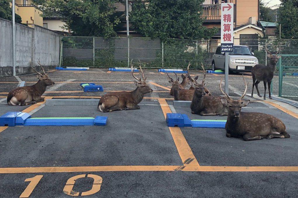 一名網友分享日本奈良停車場被野生鹿隻佔據的景象,逗趣畫面引發討論。 圖擷自tw...