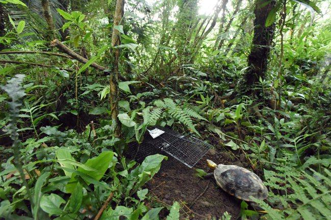 放置誘捕籠為方便觀察食蛇龜群體以及生長的狀態。 圖/日月光環保永續基金會提供