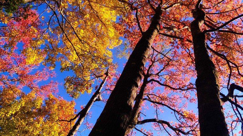 奧萬大內的賞楓平台的楓香是每年最早變色,但目前因2008年風災遭土石入侵後,目前暫無開放,可由賞鳥平台和奧萬大吊橋處俯瞰。(圖/奧萬大國家森林遊樂區提供)