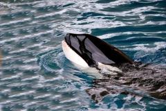 虎鯨遭囚禁40年見不到同伴 崩潰撞牆尋死