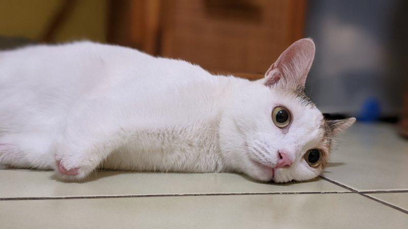 阿咪最常做的就是躺著放空,很少動又愛吃,可以叫牠肥咪了。(圖/蔡育琳 提供)