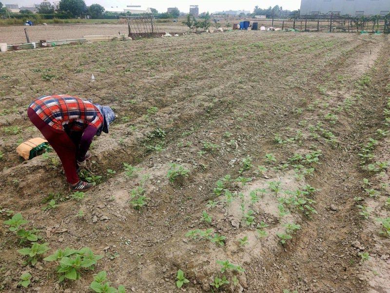 氣候異常台灣這季胡麻延後播種 ,怕風怕雨颱風又來農民苦。記者周宗禎/攝影