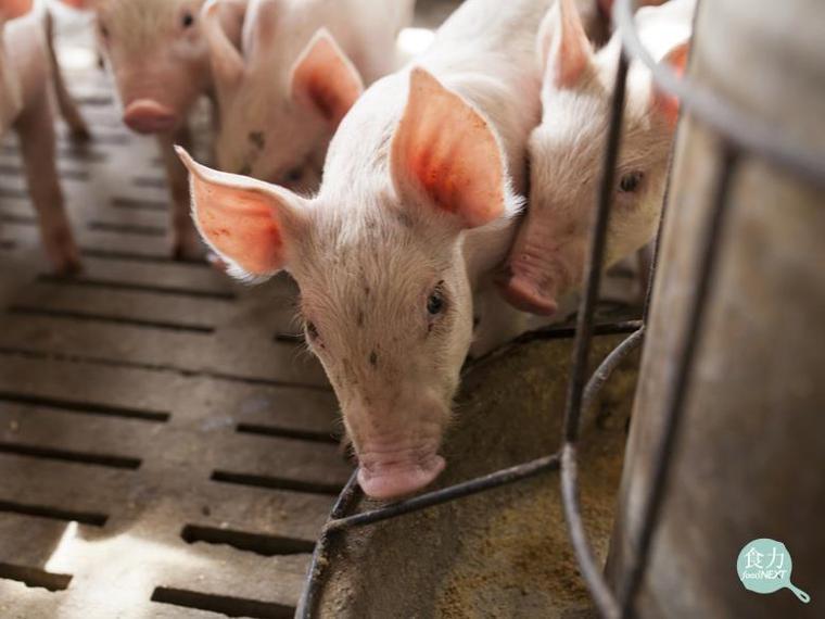 豬吃廚餘在大型動物傳染疾病前卻顯得安全風險極高,因為處理不當會導致疾病擴散,進而...