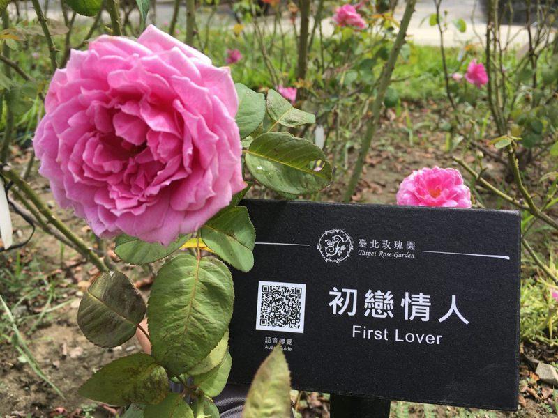 因應疫情,台北玫瑰園推出推出賞花語音導覽服務。圖/北市公園處提供