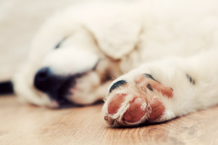 狗狗的肉球是保護足底的部位。ingimage