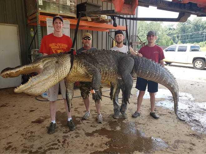 4公尺長大鱷魚肚裡竟藏史前文物。圖/取自clarionledger