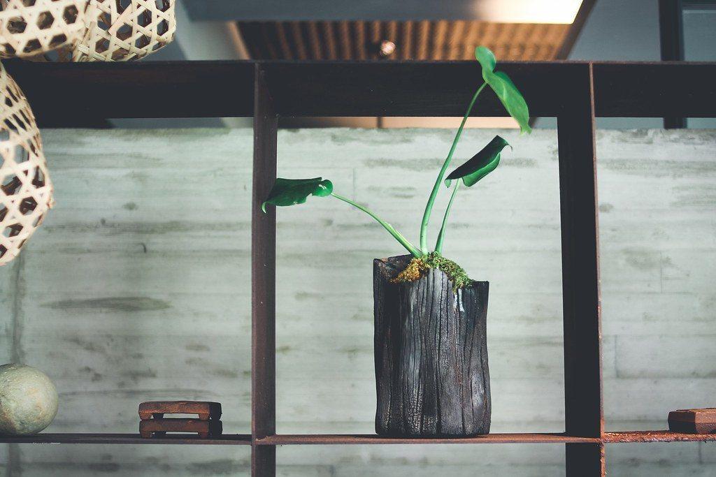 農委會林試所開發木炭盆栽,化腐朽為神奇。圖為栽植小天使蔓綠絨的相思木炭盆栽。 圖...