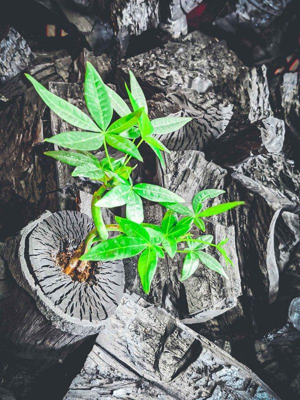 由天然木頭燒製而成的「炭及盆栽」,每個盆栽都保有木頭獨特及富有藝術性的紋理。 圖...