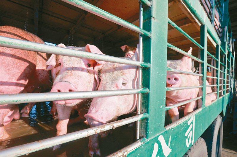農委會九月禁止廚餘養豬一個月,主委陳吉仲昨證實,稽查至今有廿四場違規,其中廿三場都是小場。記者黃仲裕/攝影