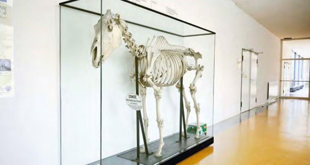 孔德的骨頭標本。 圖/柏林自由大學
