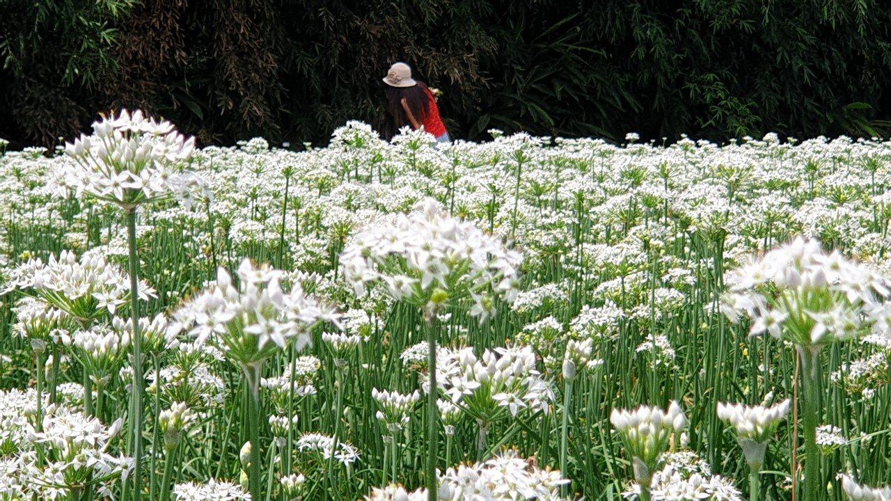 韭菜專區大片浪漫、潔白花海,有「九月雪」美名。 圖/鄭國樑 攝影