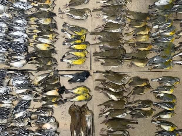 美國紐約市本周有數百隻鳥類遷徙經過,但卻「意外」在撞上該市玻璃大廈後死亡。根據志...