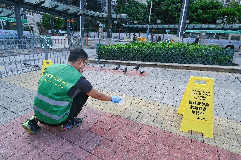為改善野鴿滋擾問題,香港漁護署嘗試餵食野鴿含有避孕藥的飼料。(取自香港漁護署官網...