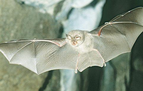 科學家發現,竂國北部石灰岩洞內蹄鼻蝠身上的冠狀病毒,與造成人類大流行的新冠病毒有一個關鍵的共同特點,使科學家更接近找到新冠病毒的源頭。圖/取自愛爾蘭野生動物基金會