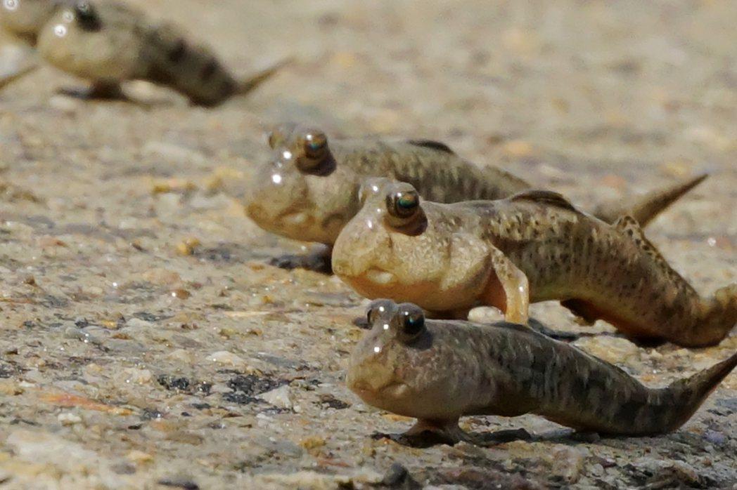 每年7月至中秋節前後,彈塗魚進入繁殖期,經常成群出現在新竹市香山濕地賞蟹步道周邊...