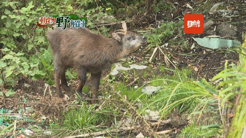 走訪大雪山森林遊樂區,台灣特有種「台灣長鬃山羊」正在山坡上覓食,另一頭一隻山羌很快地跳進叢林間躲藏,這裡是他們頻繁出現的地域。記者蔡青縈/攝影