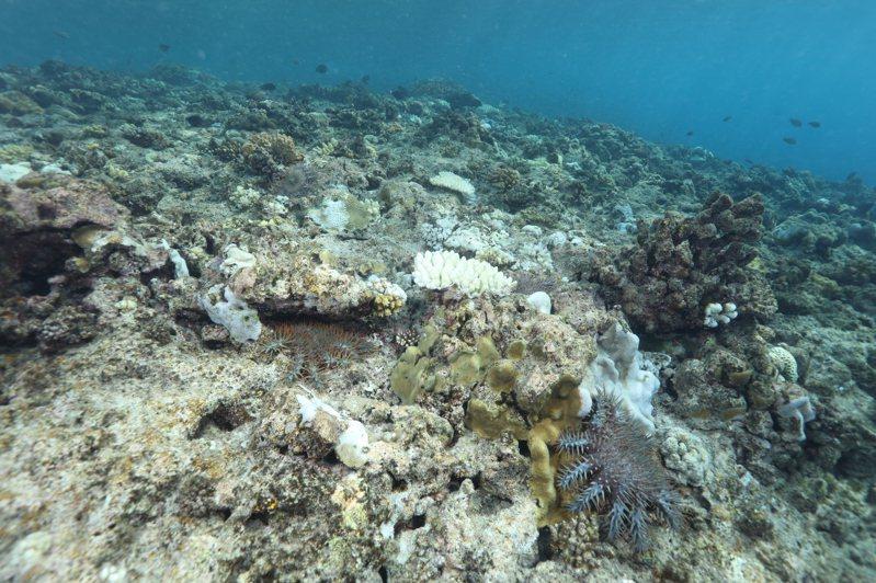 太平島海域棘冠海星數量大爆發,嚴重衝擊珊瑚生態。圖/鄭明修提供