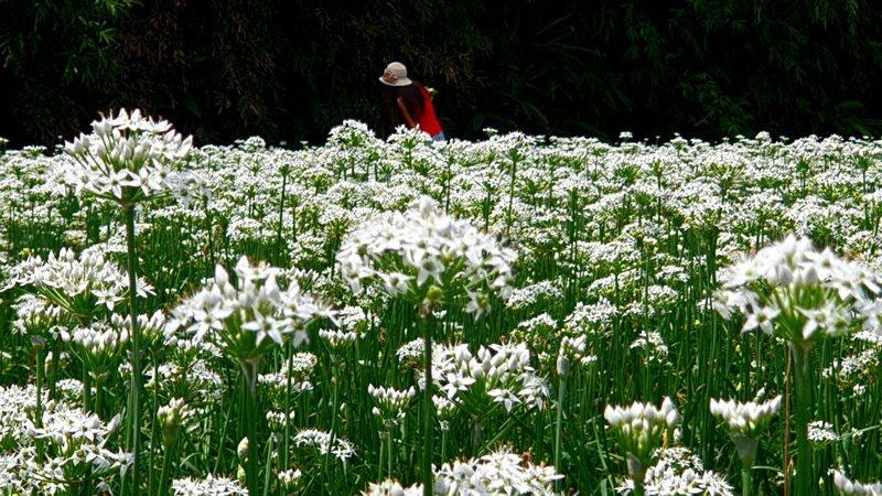 韭菜專區9月因為農民要採韭菜子,刻意讓韭菜開花而出現花海。記者鄭國樑/攝影