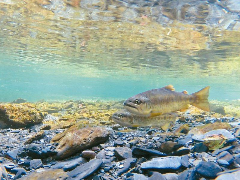 櫻花鉤吻鮭監測數量去年超過一萬二千尾,達歷史新高。圖/雪霸國家公園提供
