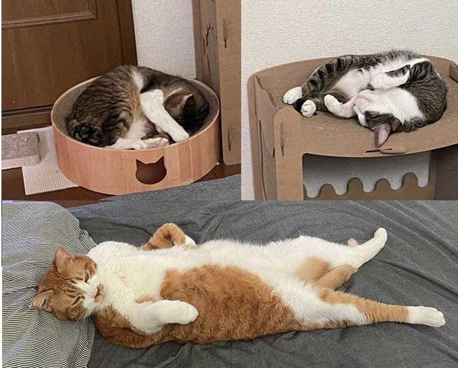 日本網友分享家中三隻貓的睡姿,「年資」越大的貓,睡相也越隨便。原圖擷取自twitter,本報加工合成
