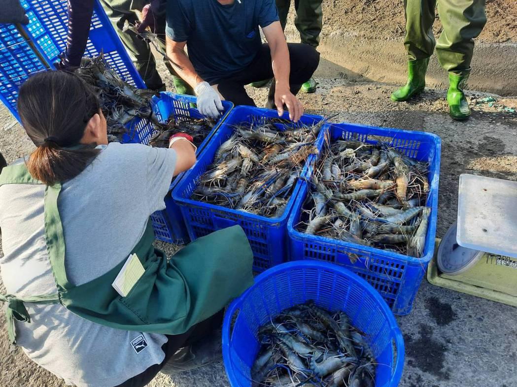 輝藥以水產養殖顧問模式指導漁民戶外成功養殖泰國蝦,肉質獲得極高評價。 業者/提供