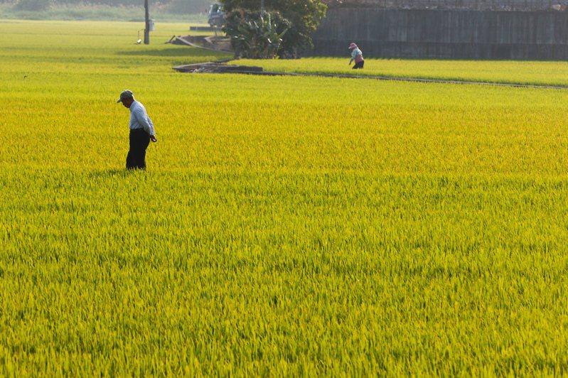 立法院2019年曾做出評估指出,加入CPTPP雖然可享會員優惠關稅,但台灣屬小農經濟,稻米價格無法與國外大量生產者競爭。圖/聯合報系資料照片