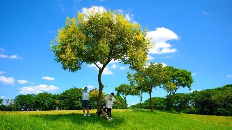 位於大漢溪右岸媽祖田河濱公園欒樹綻放。  圖/新北市水利局提供