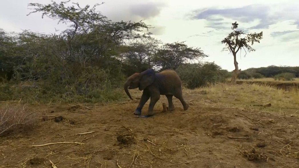 肯亞日前發生小象受困於盜獵者設置的繩索圈套,趕來救援的獸醫們迅速割斷繩索及施打藥...