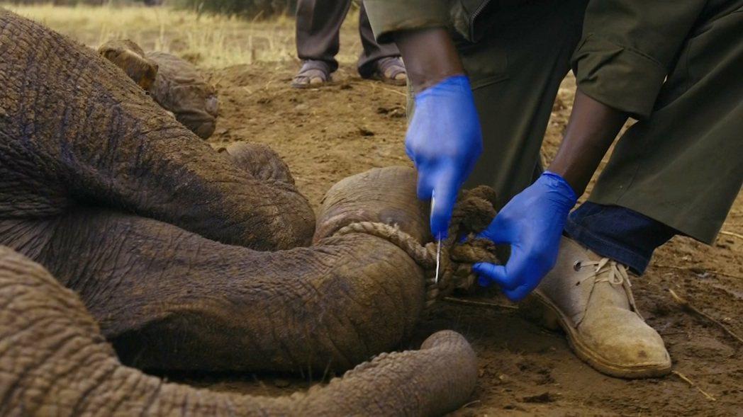 肯亞日前發生小象受困於盜獵者設置的繩索圈套,動保團體的獸醫則立刻搭乘直升機飛去營...