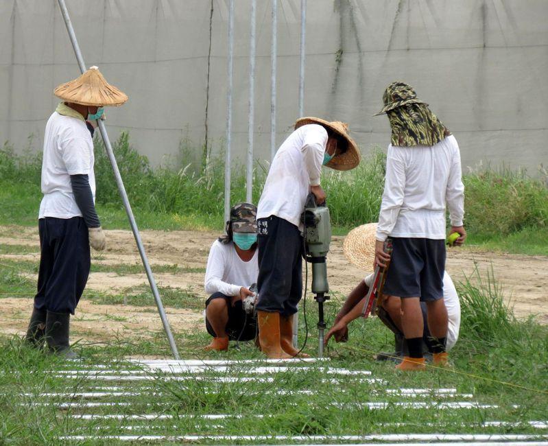 政府改善農業缺工卻不見起色,現在多個農業縣市都把腦筋動到受刑人身上。圖為明德外役監受刑人外派台南光榮有機農場工作。圖/聯合報系資料照片