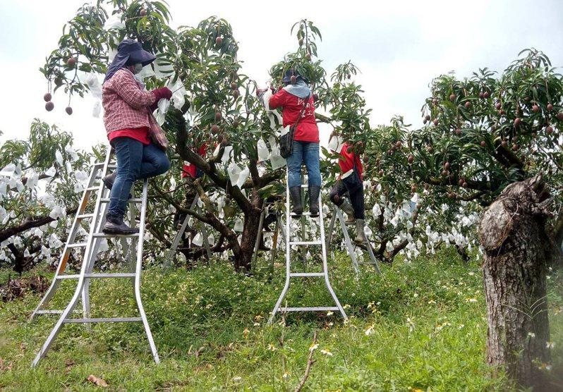台南山區芒果套袋要站在樓梯上,並不是任何工人都做得來。圖/楊沁涓提供