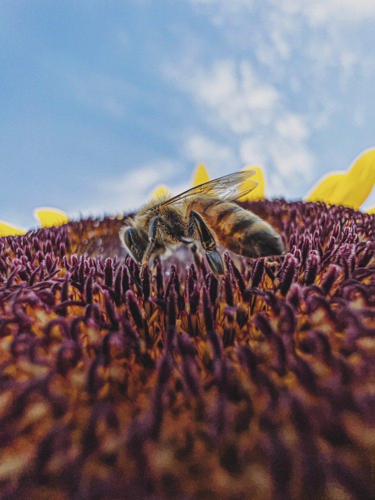 連蜜蜂身上的細毛都能拍得到。圖/Paddy Chao趙培均提供