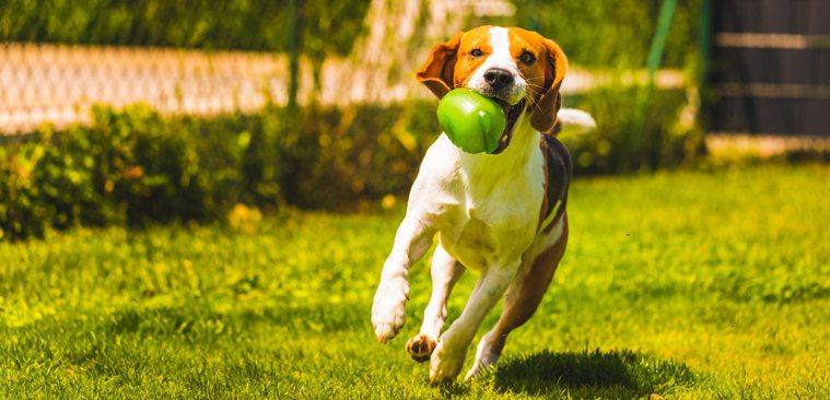 狗狗吃完飯不建議立刻劇烈活動。ingimage