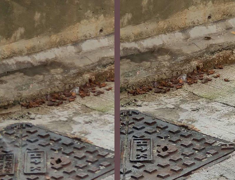 香港大街上驚見逾半百小強散步,網友援引珍妮佛羅培茲的coin master廣告的「為什麼攻擊我村莊」的梗,點出港人疑惑。擷自香港01