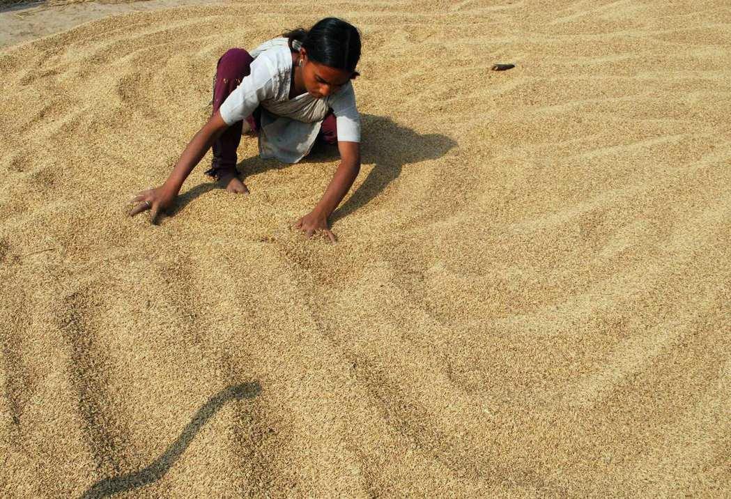 印度今年可望外銷多達2,200萬噸的稻米。圖/路透