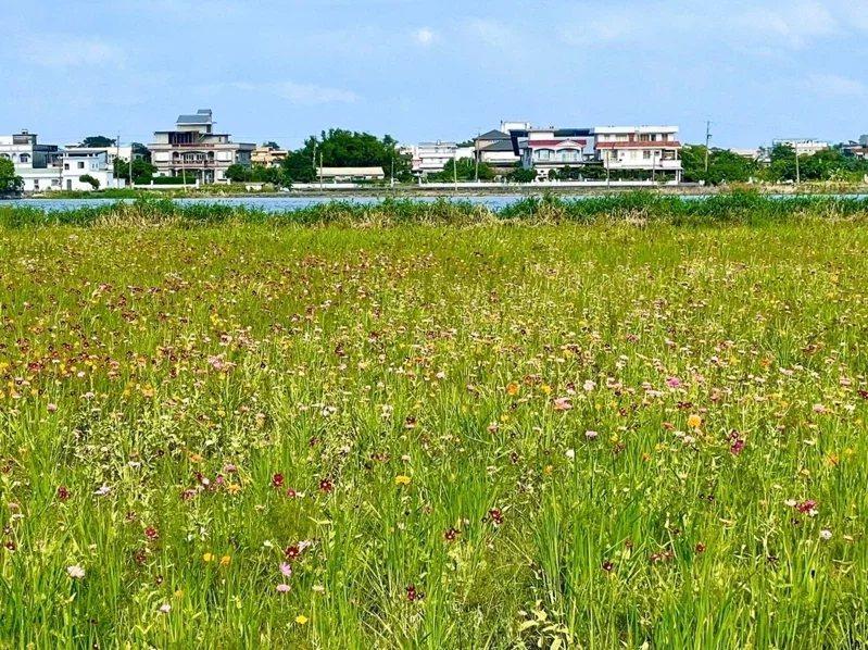 蘇澳鎮公所在區界西路、隆恩路口的休耕農地,打造約6公頃小花海。 圖/蘇澳鎮公所提...