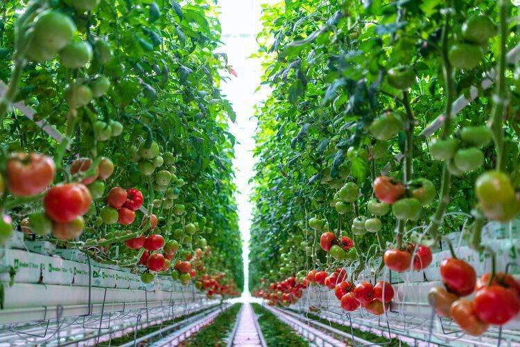 AppHarvest的番茄。 圖/Forbes