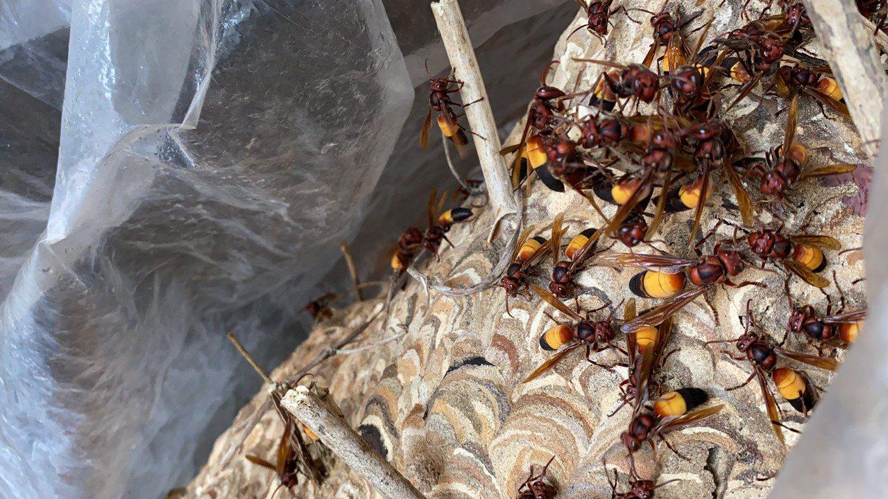 初秋季節雖很適合登山健行活動,卻是虎頭蜂活動最活躍的時候,民眾的不小心靠近,極有...