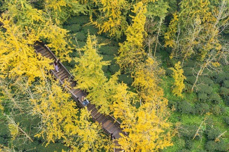 南投縣鹿谷鄉大崙山銀杏造林區由綠轉黃,茶園成了「金黃森林」,步道變成「黃金隧道」...