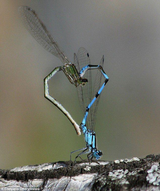 研究指出,雄蜻蜓為了適應上升的溫度,逐漸褪去翅膀紋路的黑色素,但也影響交配繁衍。圖為蜻蜓交配。圖/取自英國每日郵報