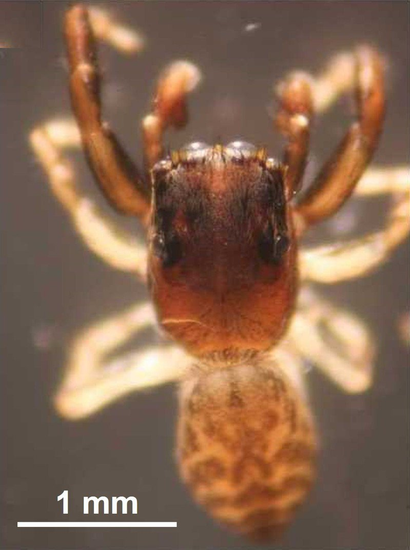 在鰲鼓濕地發現新種蜘蛛-臺灣侏斑蛛。圖/嘉縣府提供