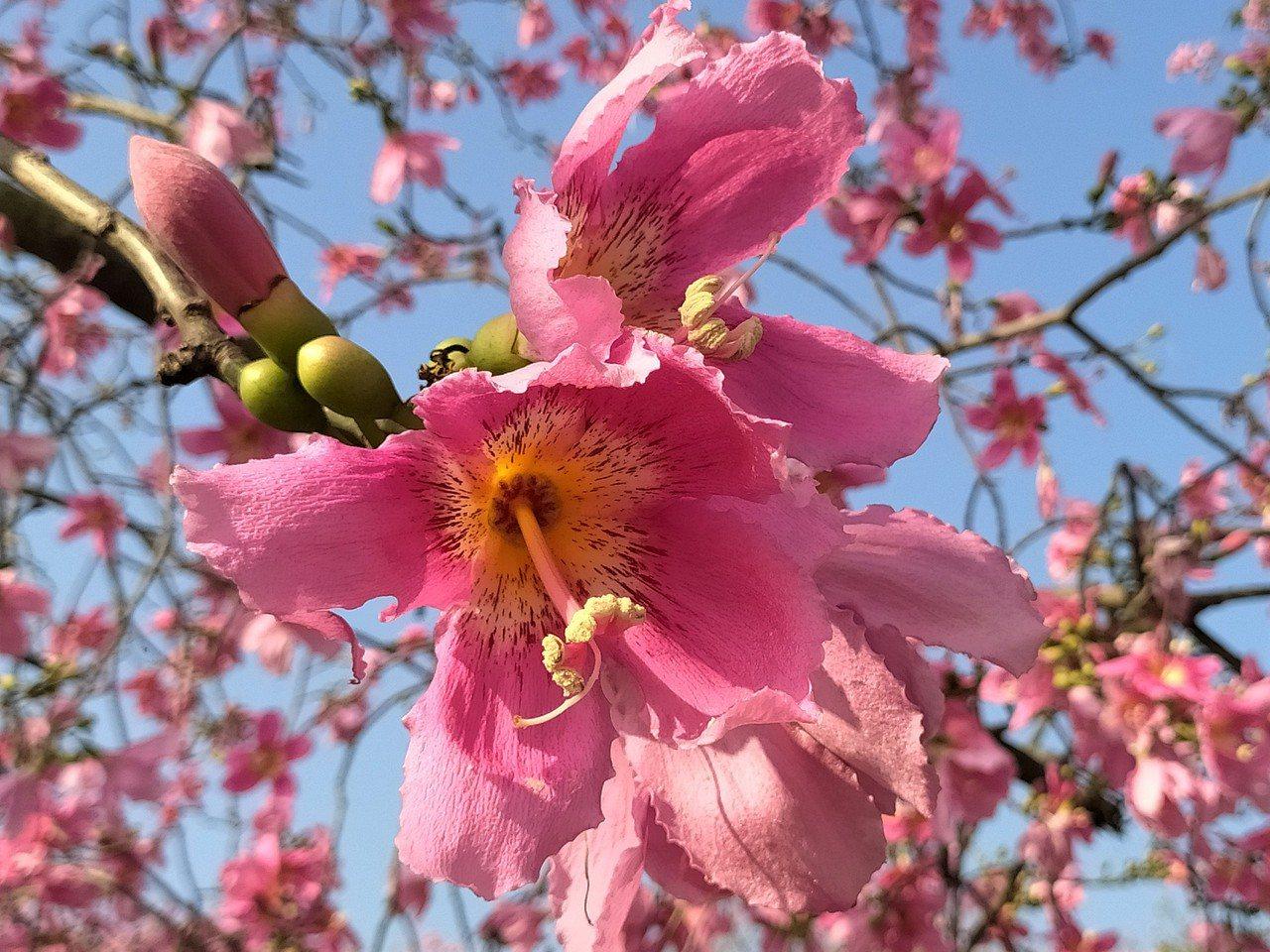 美人樹與木棉花同科,樹幹挺直也都生有自衛的瘤刺;但是美人樹基部略為肥大,又稱為「...