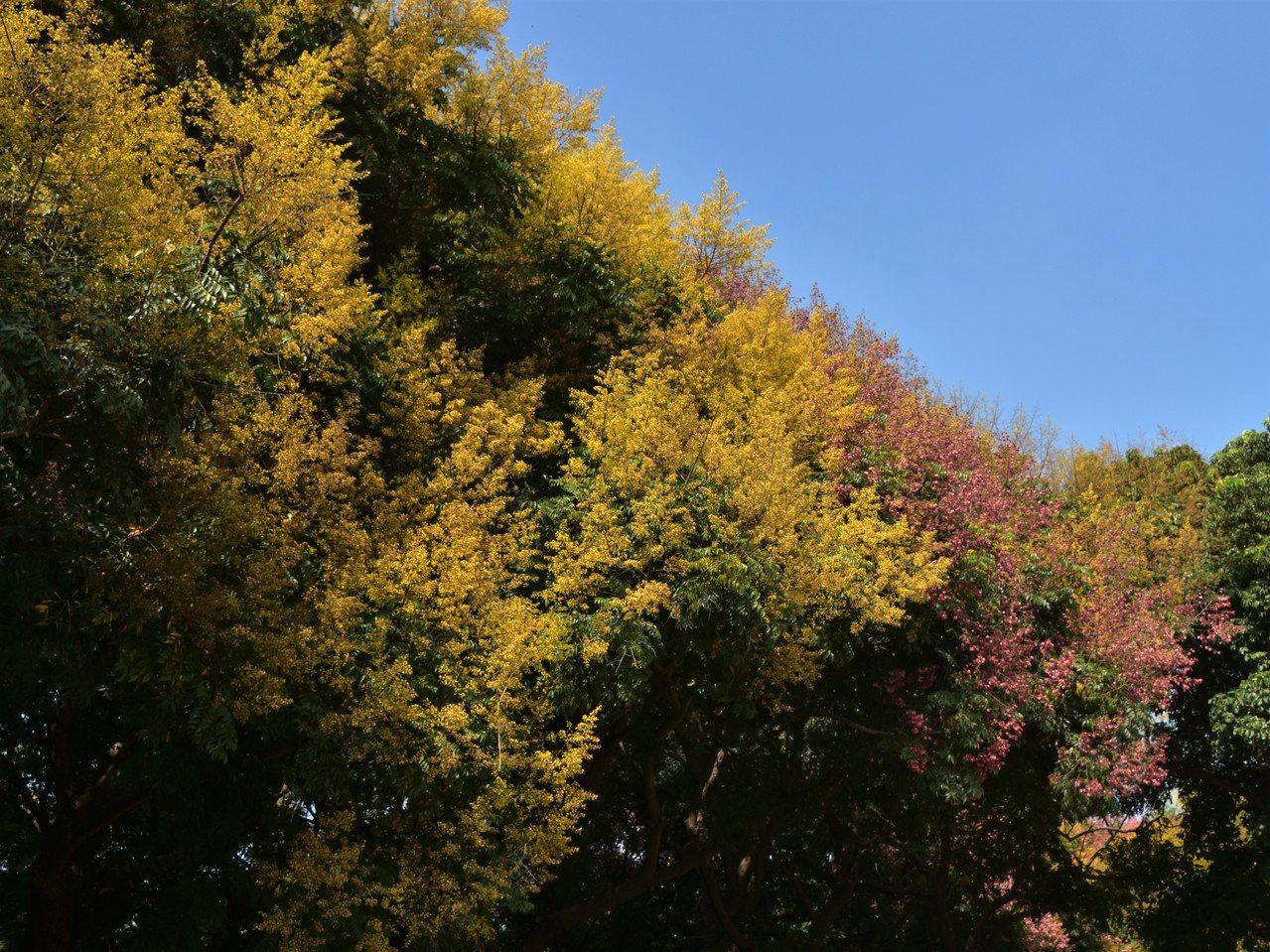 金黄、粉紅織成的一道絢麗秋色,排山倒海迎面撲來。 圖/沈正柔 提供