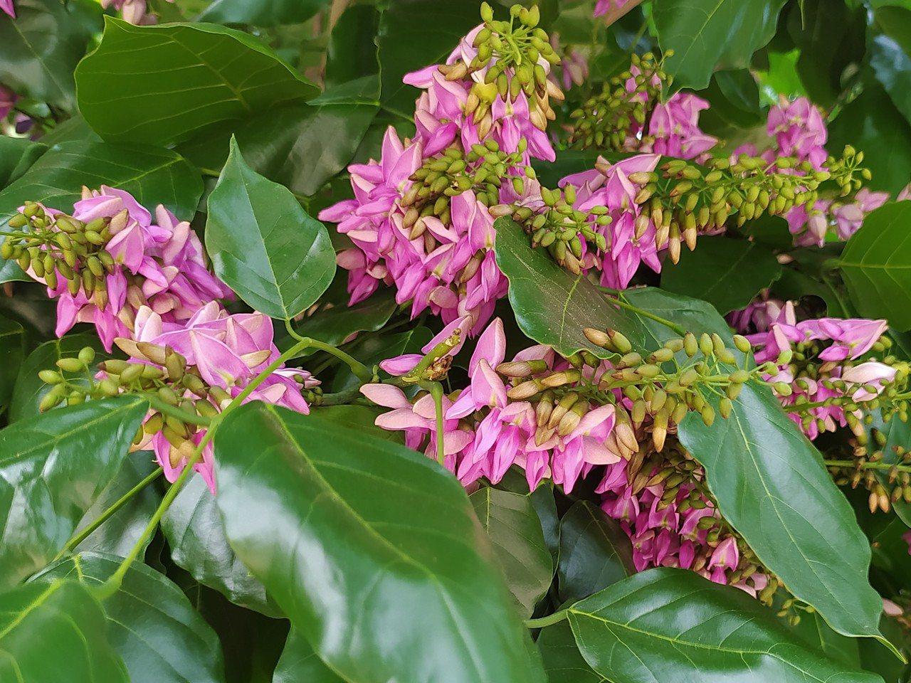 水黃皮每年開花兩次,分別為春季4至5月、秋季9至10月。 圖/沈正柔 提供
